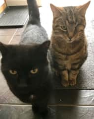 Buzzy (tabby) and his brother JJ (a lucky black cat)