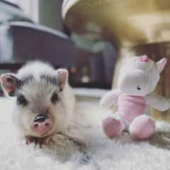 Hattie is our sweet and shy 5 month old piglet. She loves grazing in the yard  She does enjoy belly and face rubs in the evenings before bed. Her Instagram handle is @hattie_the_pig