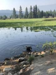 Tasha taking a dip in a near-by pond