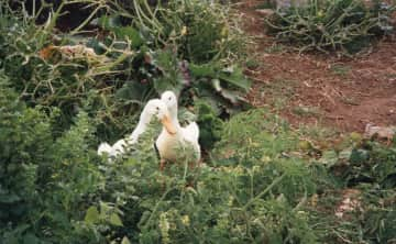 2 male Indian runner ducks named Sid and Viscious who were rescue ducks who completly cleared the garden of snails and alot of Chris's veges !