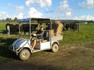 Inge feeding the cows.