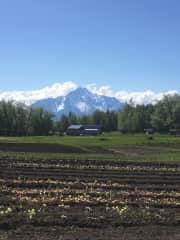 Spring Creek Farm, overlooked by Pioneer's Peak (part of the Chugach mountain range)