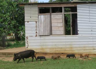 Watching these adorable pigs with their mama in Tonga