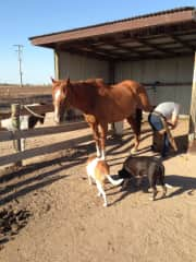 Jasper in the care of a farrier while dogs Bella and Milly investigate. Housesit at Lockwood Sth, Vic.