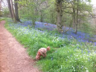Florence in the bluebells