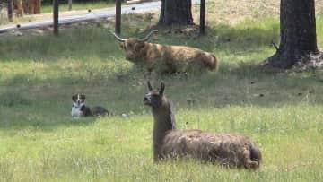 Sarah(Scottish Highland) Mandee & Lorenzo Llama(rescued)