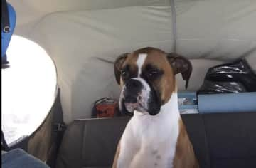 Millie from our first sit.  We brought the Cessna up to SFO and she LOVED flying!