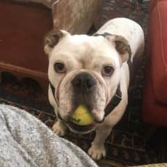 We dogsit in our own home occasionally to get some doggy company. This is Elvis, who loves his tennis ball so much he sometimes falls asleep with it in his mouth.