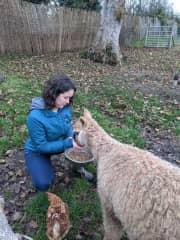Theo feeding Leia the baby alpaca (2020 housesit)