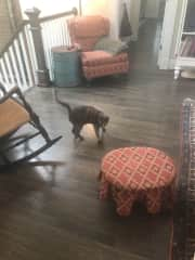 Mocha, a young cat we're fostering for a local rescue organization, exploring our house on her first day here. She hasn't signaled yet that she wants me pick her up, but she has approached to give a few head butts.