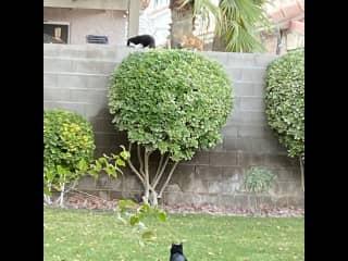 Pépère staring at neighbor's cats