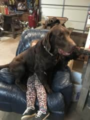 Our HUGE chocolate lab, Dubs, sitting on our granddaughter's lap.  Dubs is a loveable, gentle giant of a dog.