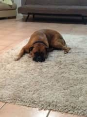 Sabre, A Boxer who loved cuddling