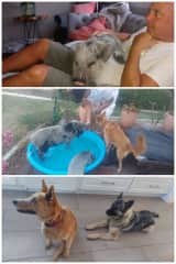 Our amazing first housesitting experience.  3 dogs (Ollie, Moses and Sadie) and 2 pigs (Zuzu and Hattie).  Zuzu loved to cuddle with Chris!