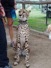 The cheetah run in San Diego Safari zoo