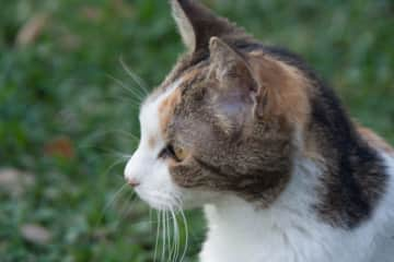 Snickers, my late calico cat