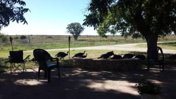 Wild turkeys in the yard