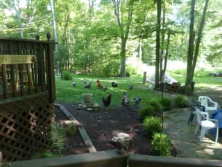Chickens Free-ranging in the backyard in view of the fire pit patio and hot tub deck.