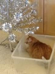 Frankie - helping put up the tree