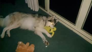 Teddy, my landlords husky