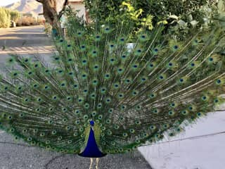 Peacocks.  I miss our community peacocks when I travel.