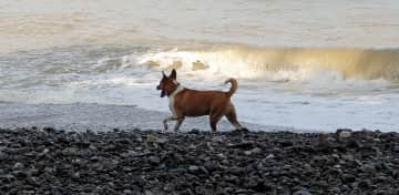 One of his daily walks on the beach, looking for small birds to Chase