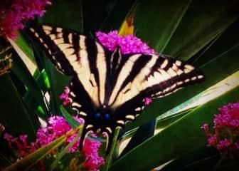 Butterfly in my garden!
