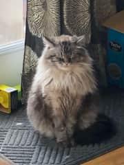 Sturgill the Norwegian Forest Cat!