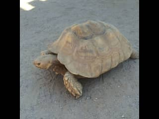 Desert Tortoise - Al