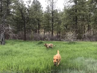 Morgan (l) and George (r) walking on our property