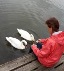 Feeding swans in England