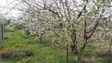 Orchard in Spring