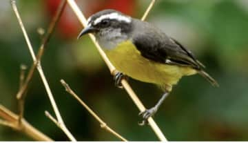 A bananaquit bird on one of our trees
