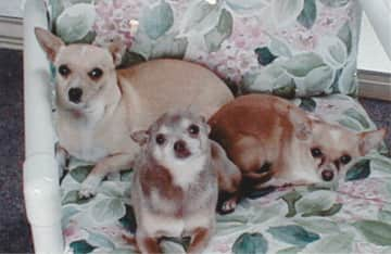 Trixie, Rudy and Daisy, our beloved chihuahuas