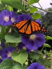 We raise monarch butterflies during the summer months in Canada. This year we raised over 250. We love to cycle, golf, swim, hike, and are avid singers. We have two fantastic grand children who spend time with regularly.