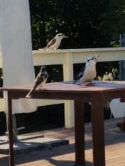My most recent petsitting visitors for breakfast