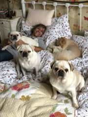 Sit in England with 3 Pugs and a Pom...