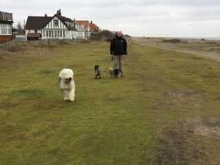 Don dog walking on shingle beach in Suffolk, England
