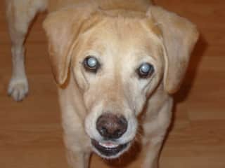 Max - our blind yellow lab
