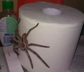 A spider in the loo in Oz- all sorts of animals lived around the house