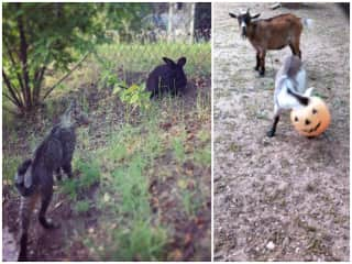 A kitty and rabbit Bunny made friends with on a walk, and the baby goat next door she saved from having his head stuck in a plastic pumpkin!