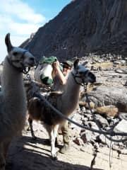 Packing the llamas
