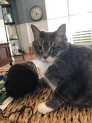 A 12 yo domestic cat   Very sweet