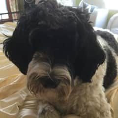 Sailor Portuguese water dog