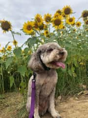 Murphy with Cottell Park sunflowers