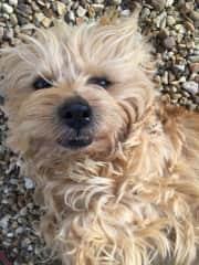 Cute little Norfolk Terrier, Toffee, on housesit #4 in Cambridgeshire