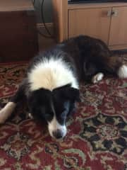 Scout , beautiful Collie in Bowen