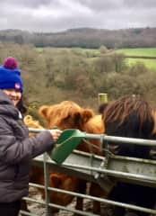 Pauleen feeding highland cattle (Honiton housesit )