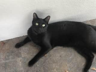 Mini panther  Indoor/outdoor cat