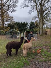 Janelle feeding the alpacas and chickens we looked after in autumn 2020